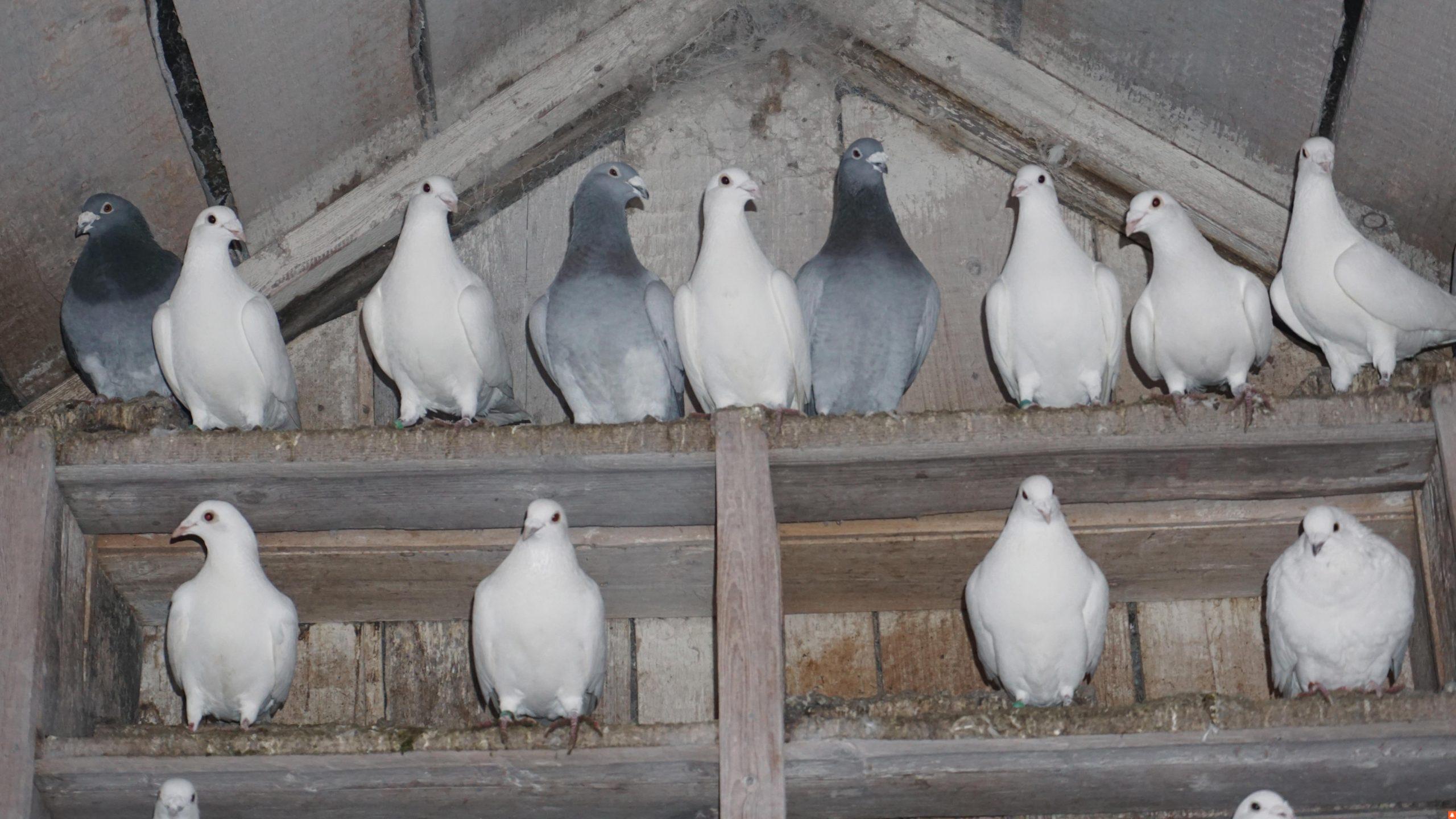 «На весілля подарував молодятам голубів, а вони назад до мене прилетіли»
