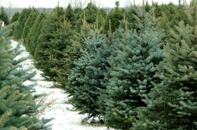 Законність реалізації новорічних ялинок перевіряють на Черкащині (ФОТО)